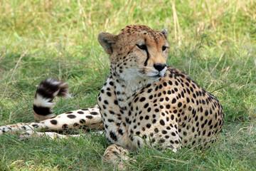 Cheetah (Acinonyx Jubatus) Lying in the Grass, Maasai Mara, Kenya