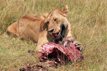 Lion (Panthera Leo) Eating a Wildebeest, Maasai Mara, Kenya