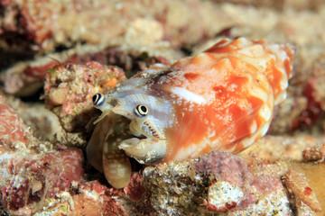 Unidentified Strombus Species. Dampier Strait, Raja Ampat, Indonesia