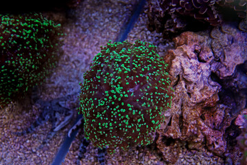 Frogspawn Euphyllia colorful coral