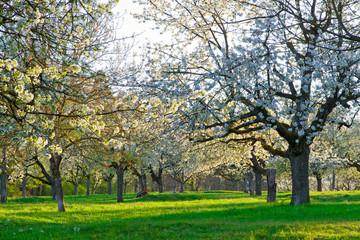 Wall Mural - Blühende Kirschbäume im Frühling