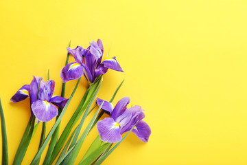 Purple iris flowers on yellow background