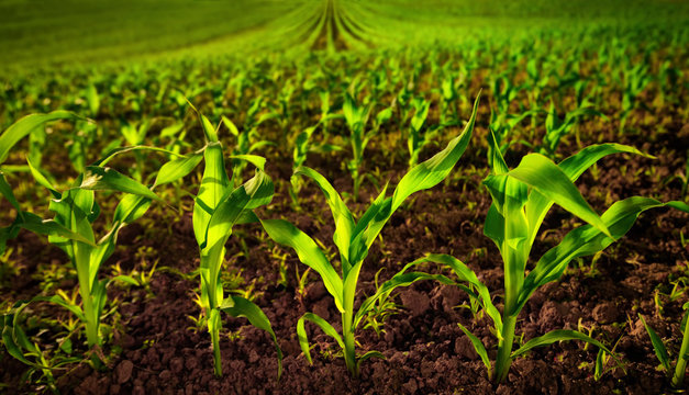 Corn field with young plants on fertile soil, a closeup with vibrant green on dark brown