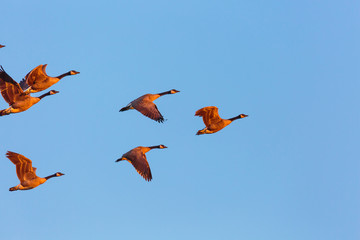 Close up of a small flock of geese in a blue, morning sky.