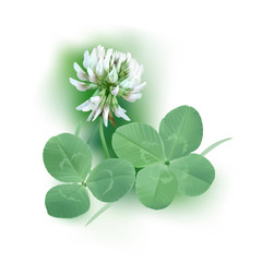 White Clover - Trifolium.
