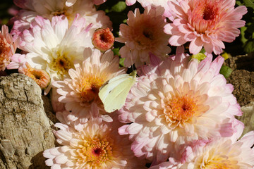 pink and orange flowers with white butterfly close-up