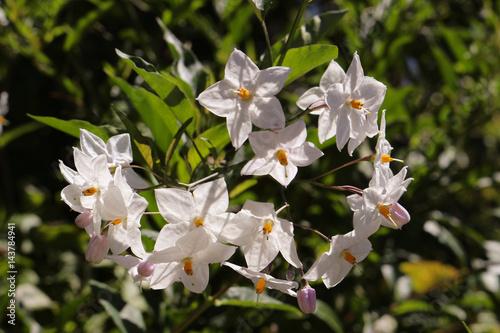Litte white star shaped flowers stock photo and royalty free images litte white star shaped flowers mightylinksfo