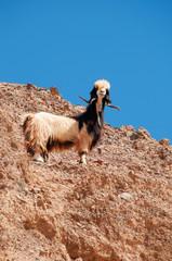 Medio Oriente, 10/03/2013: una capra arrampicata su una roccia nella Riserva Biosfera di Dana, la più grande riserva naturale della Giordania
