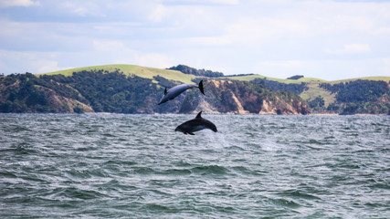 mother and baby dolphin having fun doing somersaults