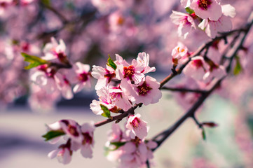 Sakura flowers or soft focus cherry blossom on nature background