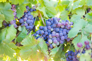 Close up view of grapes hanging on a vine in the Breede Valley, a wine producing area in the Western Cape of South Africa