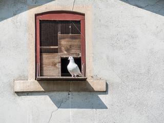 Weiße Brieftaube im Taubenschlag
