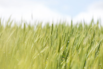 Close up view of Young green wheat growing on a farmland in the Swartland in the Western Cape of South Africa