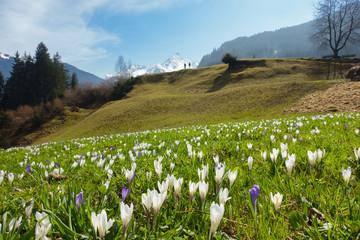 Frühling Blumenwiese in den österreichischen Alpen
