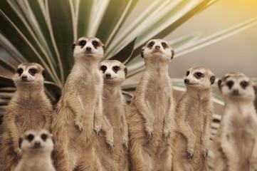Suricate or meerkat (Suricata suricatta) standing on guard.