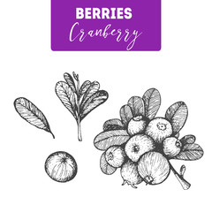 Cranberry hand drawn vector illustration set. Engraved food image.