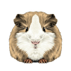 plump cute Guinea pig, sketch vector graphics color picture