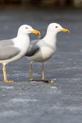 Yellow-legged Gull (Larus cachinnans). Bird's species is identified inaccurately.