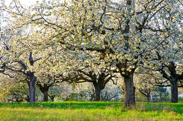 Wall Mural - Blühende Kirschbäume auf einer Streuobstwiese