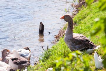 gray goose near river