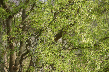 Twisted hazel tree, Corylus avellana Contorta, in spring