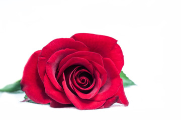 Amazing red rose.Floral wallpaper.