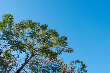 the silk tree with blue sky background