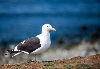 Common gull, Larus canus, ashore