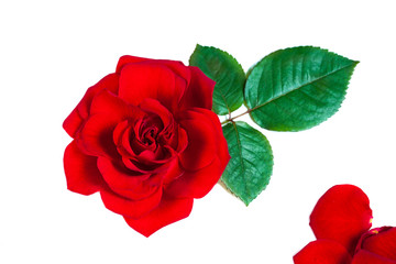 Red Rose Flower leaves Isolated on white background. Valentine or Wedding background