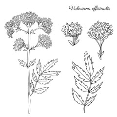 Valeriana officinalis botanical hand drawn vector ink sketch isolated on white background, doodle illustration for design package natural cosmetic, organic medicine, greeting cards, herbal green tea