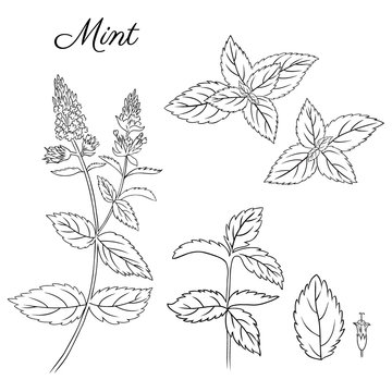 Set of hand drawn mint branch, leaves and flower isolated on white. Hand drawn spicy herbs. Doodle cooking ingredient for design. Vector illustration