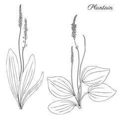 Great plantain, Plantago major medicinal plant wild field flower isolated on white background, hand drawn vector doodle sketch illustration for design package tea, cosmetic, medicine, greeting card