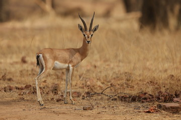 Chinkara photos, royalty-free images, graphics, vectors & videos