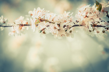 Nice blossom on cherry twigs in garden or park, floral springtime outdoor nature background, pastel color