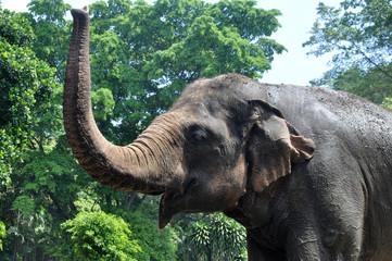 Sumatera Elephant