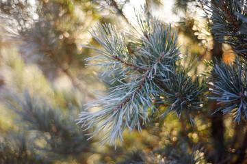 Fir-tree needles under snow