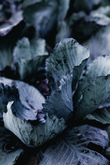 Purple cabbage in fiels