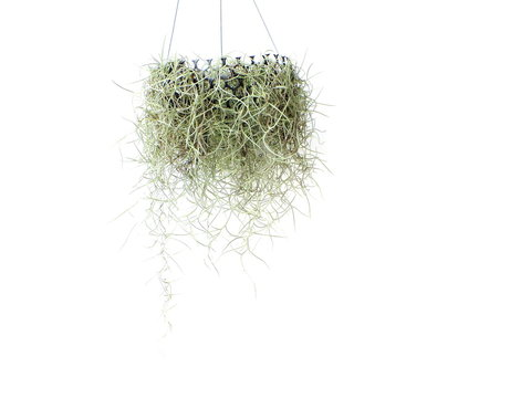 Spanish moss isolated on white background