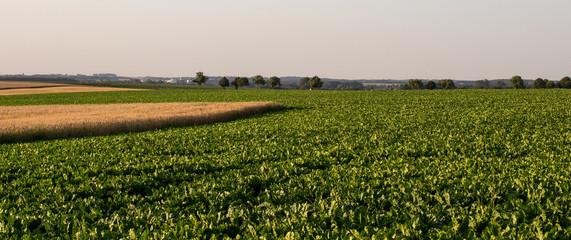 Wall Mural - wheat field and sugar beet