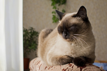 sleeping on the armchair by the window a Siamese cat