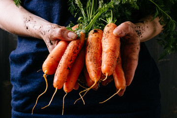 Organic fresh harvested vegetables. Farmer's hands holding fresh carrots, closeup Wall mural