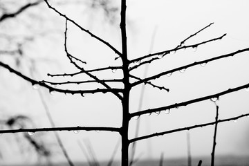 Silhouette of a tree without leaves with raindrops, black and white