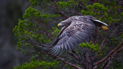 Sea eagle in flight