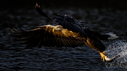 Sea eagle flying away from water surface, holding fish in claws
