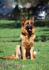 Noble dog of breed the German shepherd sitting on a lawn