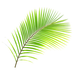 Coconut tree leaf isolated on white background