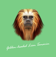 Vector Illustrated portrait of Golden-headed lion tamarin monkey
