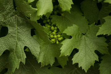 Textured background image of grape vine leaves