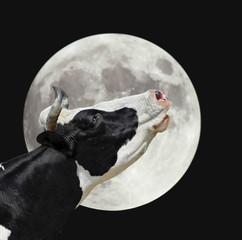 Funny cow on the background of large bright moon. A black and white cow moans at the moon. Farm animals.