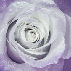 Beautiful flower rose with water drops